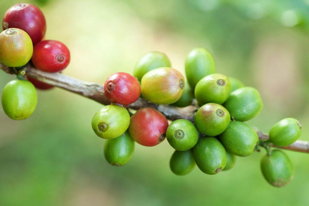 rijec-strucnjaka-zelenoj-kavi